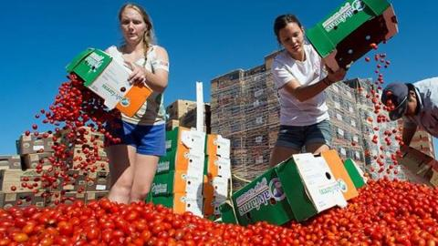 Students dump produce from boxes into a large pile of cherry tomatoes